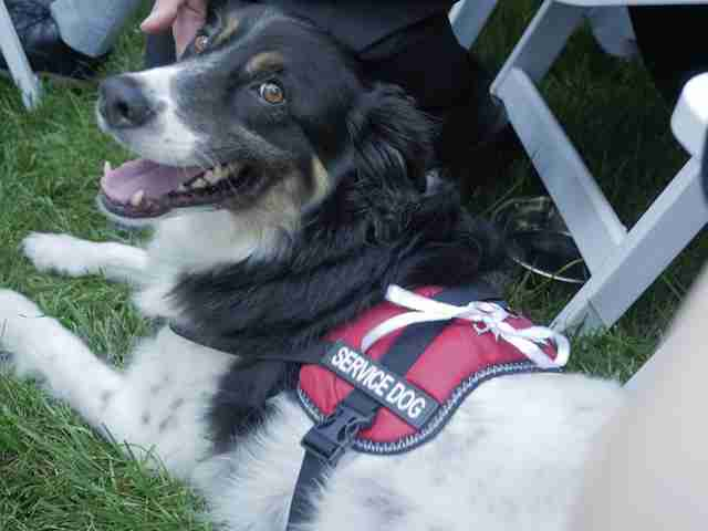 Rescue dog in service vest