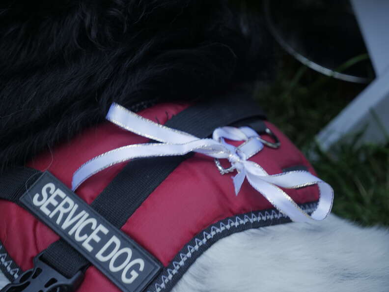 Rings tied to service dog's vest