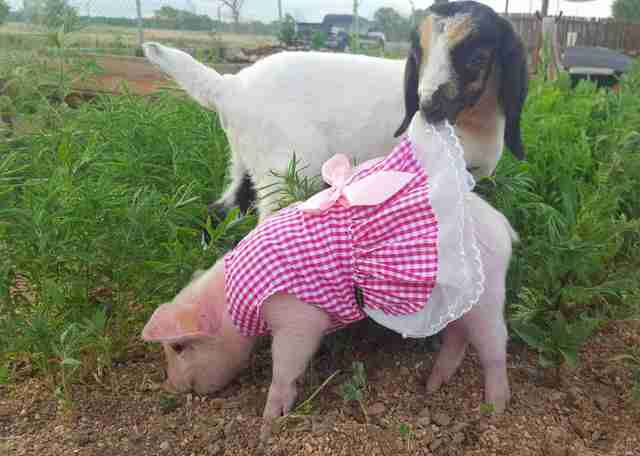 Goat with piglet in dress