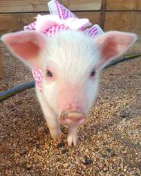 Piglet dressed up