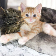 These Curly Haired Cats Are All Descended From One Rescue Kitten