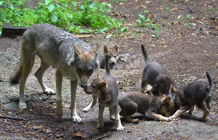 Фото волчица с волчатами