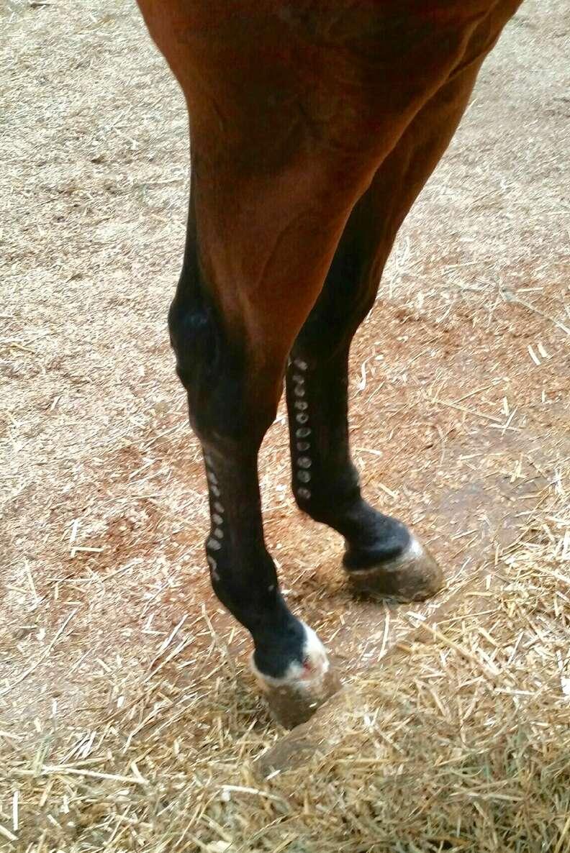 Holes on horse's leg
