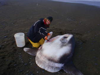 Scientist with new species of sunfish beached in New Zealand