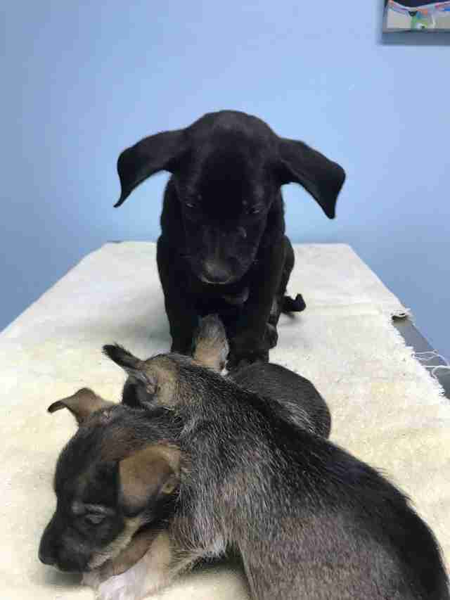 Three puppies at vet