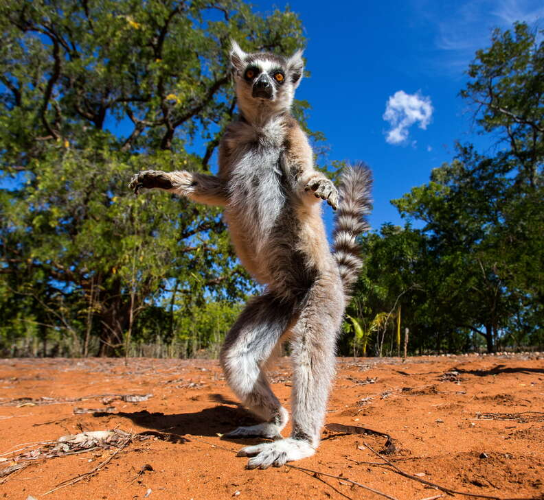 a ring-tailed lemur standing on red soil Madagascar