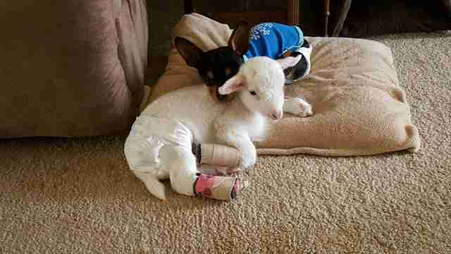 dog gets stuffed lamb after his friend dies