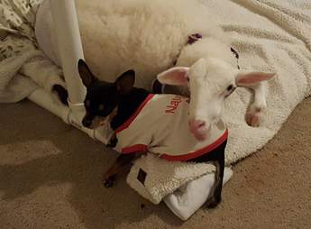 dog gets stuffed lamb after his friend died