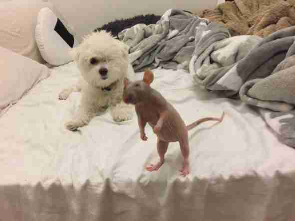 Rescue rat with dog
