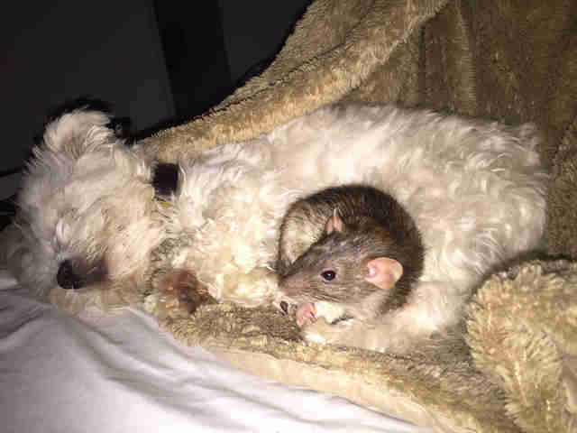 Rat snuggling with dog