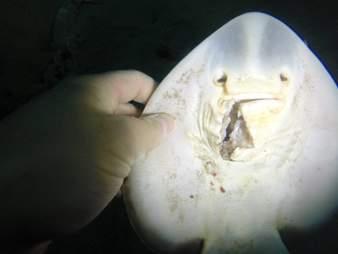 banjo shark, fiddler ray, project banjo, port phillip bay