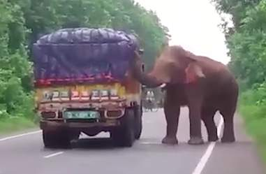 Indian elephant steals snack from truck