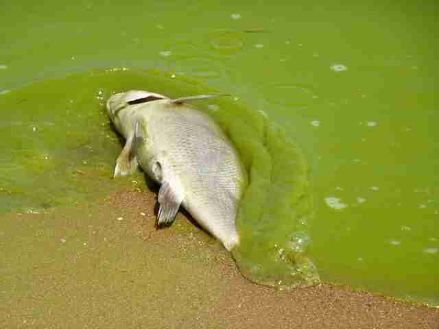 Dead fish in algae filled water in the Gulf of Mexico