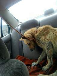 Skinny street dog in back of car