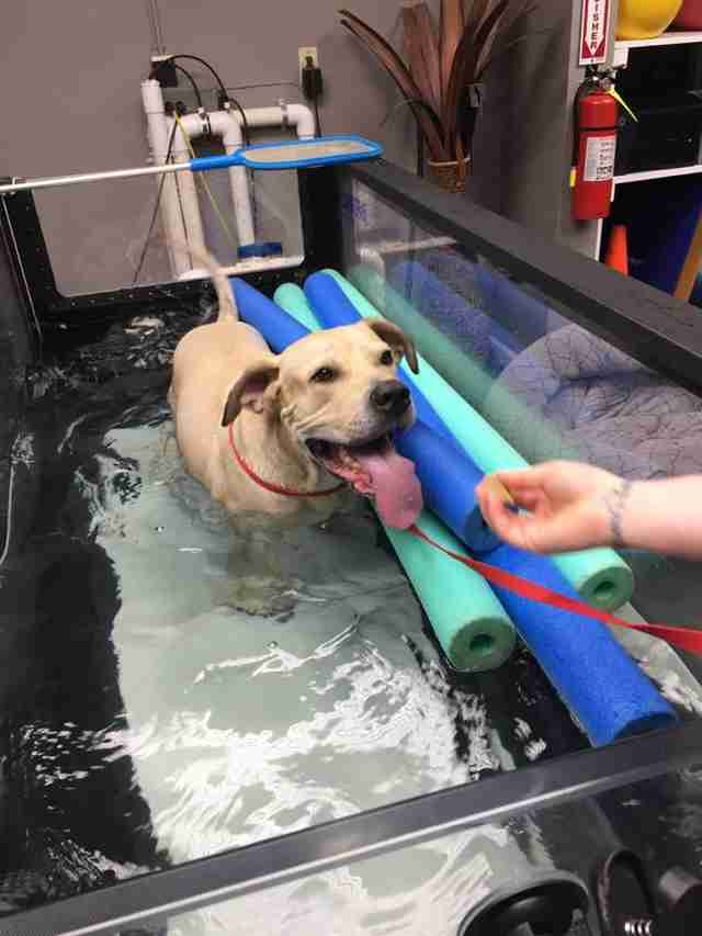 mastiff at hydrotherapy