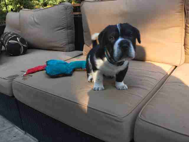 Tiny puppy on outdoor couch
