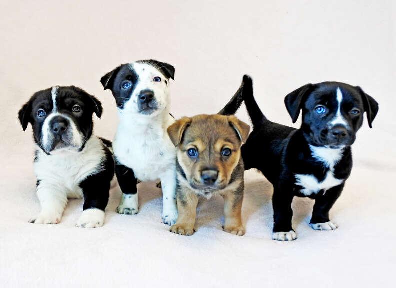 Four puppy littermates