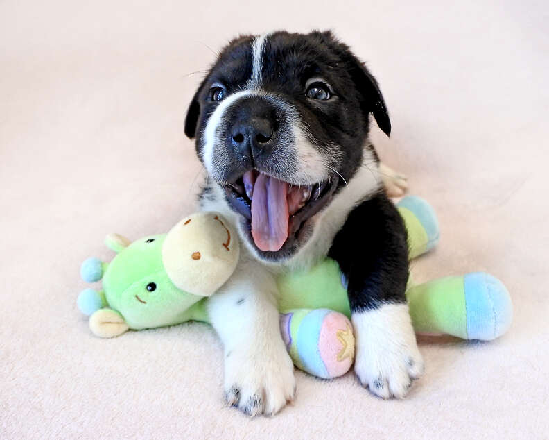 Puppy posing with toy