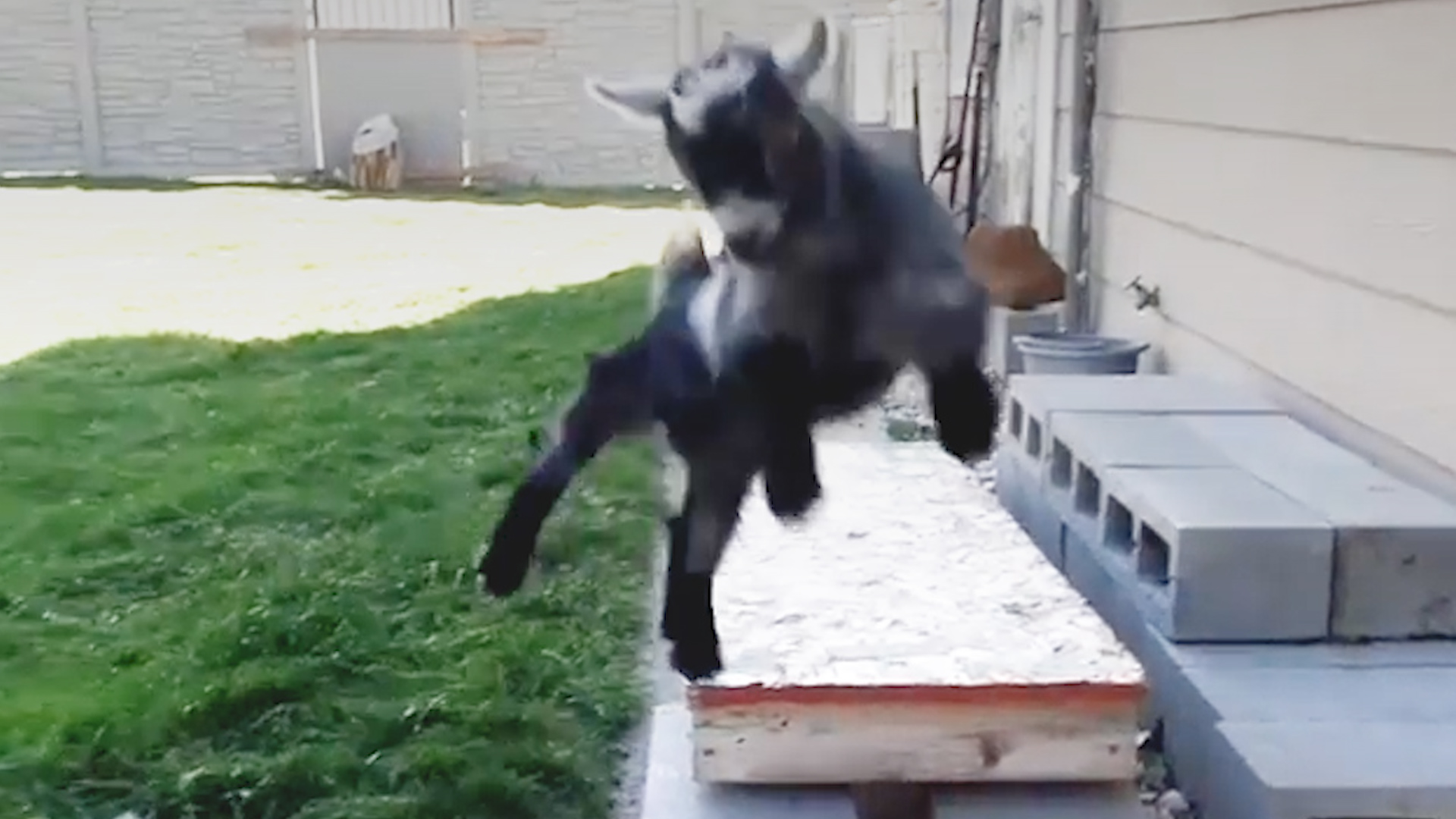 2689697 these goat brothers keep each other weird videos the dodo