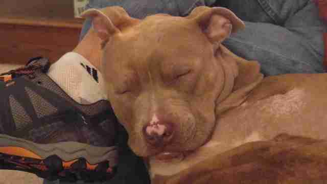 Rescued pit bull sleeping