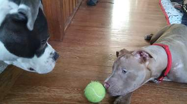 Dogs playing with tennis ball