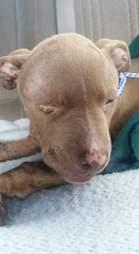 Injured dog on vet table