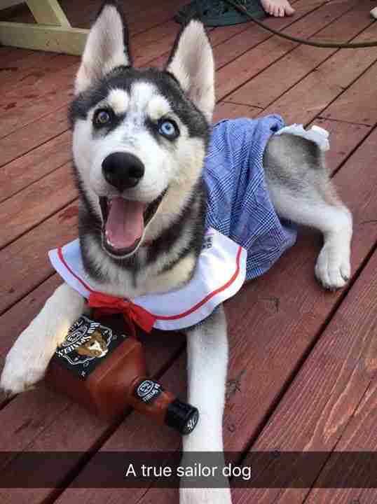 mini husky wears diapers