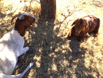 goats lying down, rescue goats