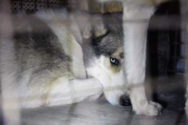 husky mix dogs at Aleppo zoo in Syria