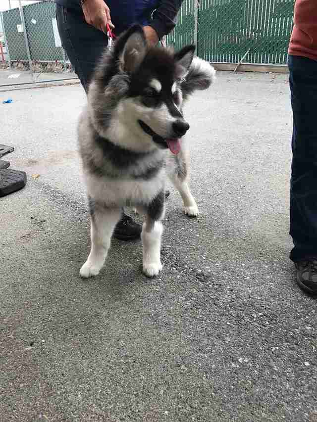 Young husky up for adoption