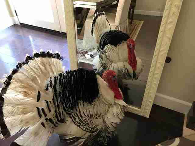 rescue turkey looking in mirror