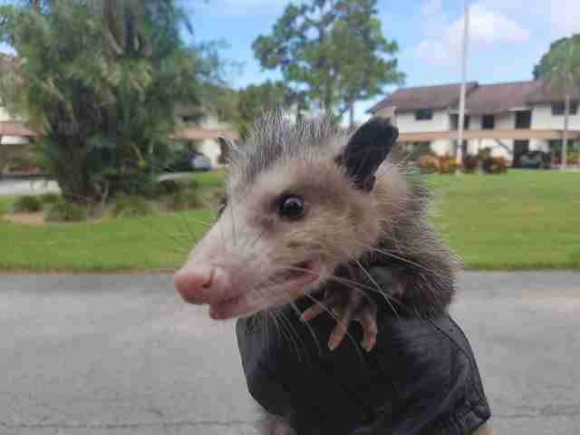 Opossum freed from dumpster