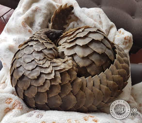 Rescued pangolins snuggling