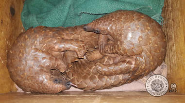 Rescued pangolin friends waking up together