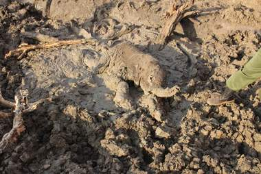 Baby elephant stuck in mud in Africa
