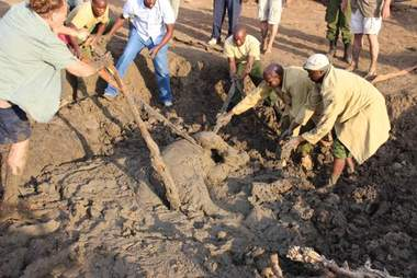 People helping baby African elephant out of mud pit