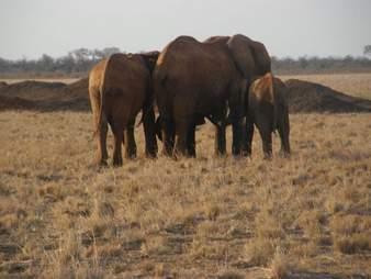Elephant herd in Africa