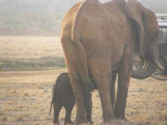 Elephant calf and mother reunited
