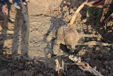 Baby elephant getting helped out of mud pit