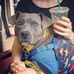 pit bull wears pajamas