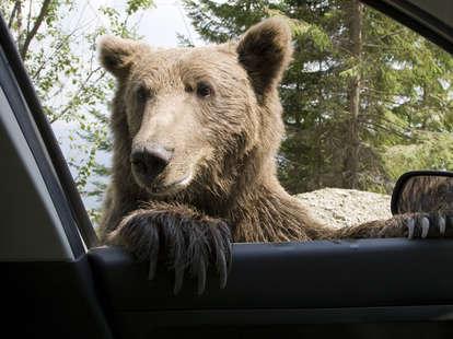 bear peeking in car window