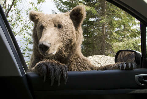 bear peeking in car window