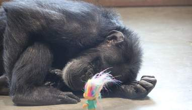 Rescued lab chimp with troll doll