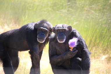 Rescued chimps with troll doll