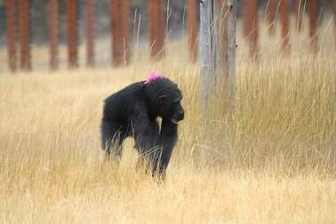 Rescued lab chimp with troll doll on her back