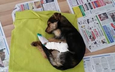 Injured dog sleeping