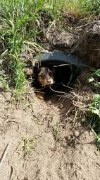Injured dog in ditch