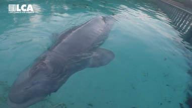 Beluga whale in concrete tank