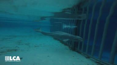 Emaciated beluga whale in tank