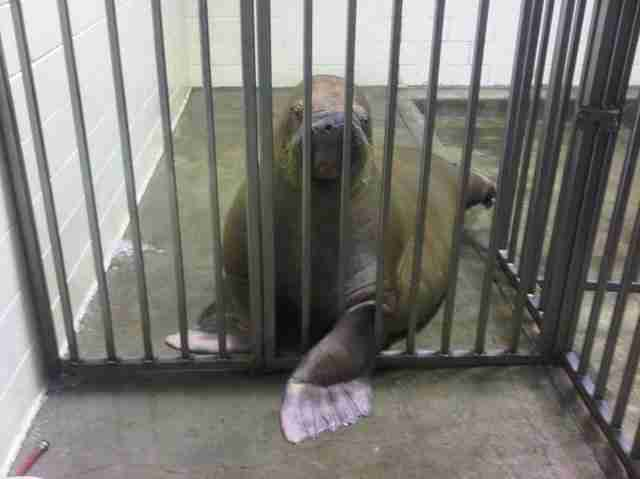 Sick walrus in cage